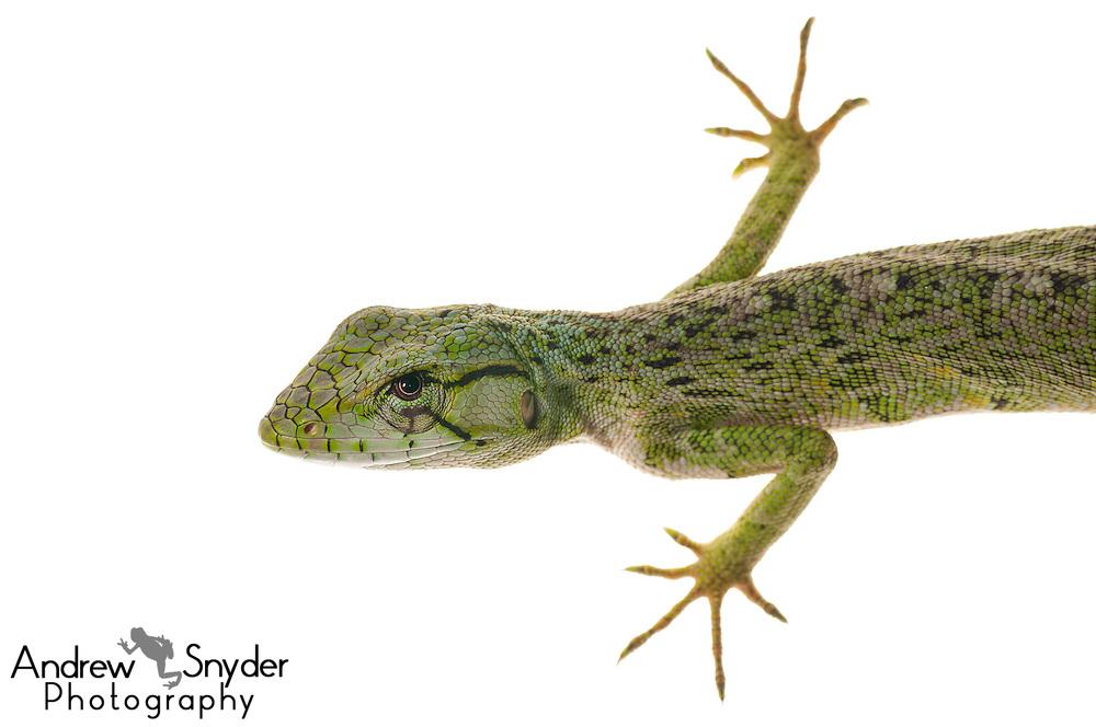 Common monkey lizard (Polychrus marmoratus) - Chenapau, Guyana