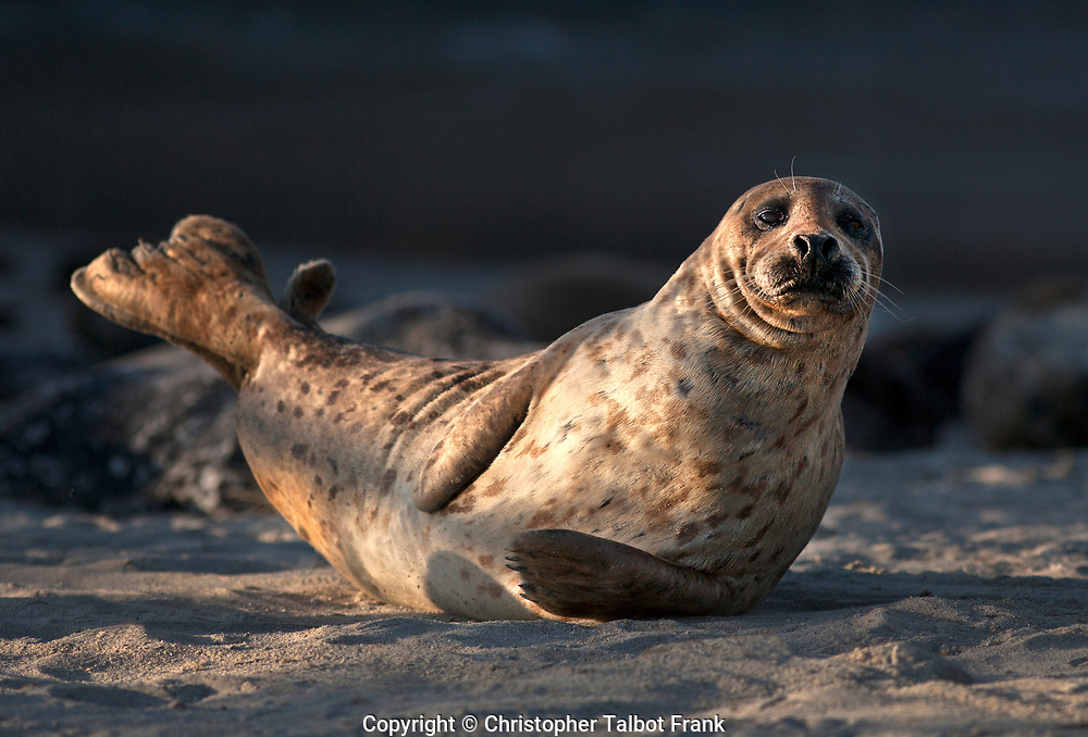 I was kicking back laying in the sand with my telephoto lens when I took this photo of a laid back Harbor Seal in La Jolla.  This cute seal has great lighting and stands out from the dark cliff background.
