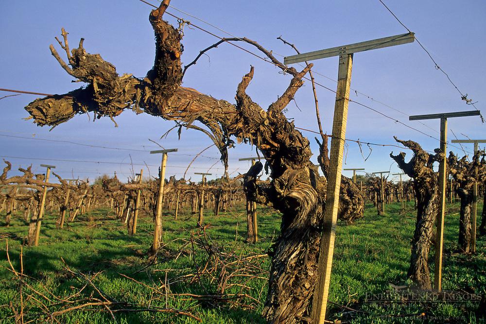 Barren grape vines in winter, vineyard along Dry Creek Road, Sonoma County, California