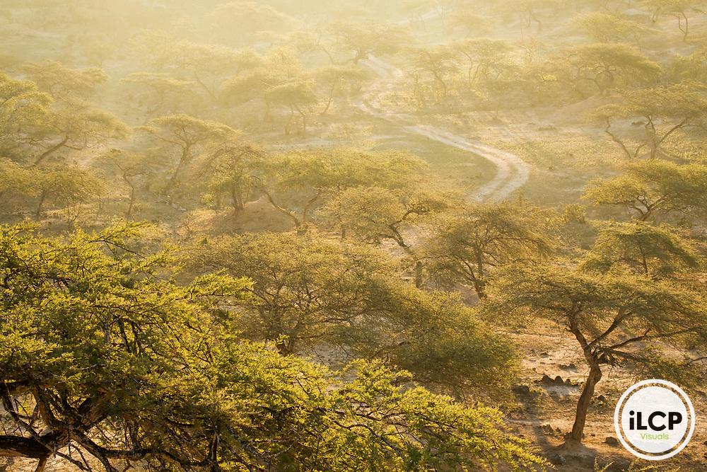 Gum Acacia (Acacia senegal) forest at sunrise, Hawf Protected Area, Yemen