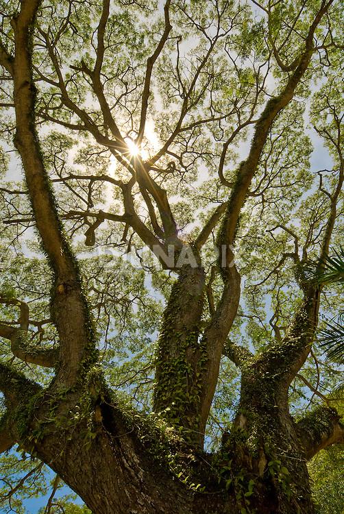 Sunburst through a treetop, Banda Aceh