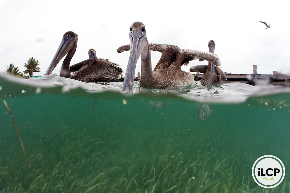 A view above and below the water of Brown Pelican as it searches for food in the shallow seagrass beds near a small-scale coastal community fishing dock.   Brown Pelicans are large seabird weighing approximately 6-12lbs. Their most distinguishing feature is a long beak with a hooked tip and a huge pouch. Their legs are short and all four toes are webbed. Their wing span is more than 6ft, they soar well, and often glide low over the water.