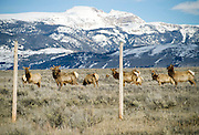 PRICE CHAMBERS / NEWS&amp;GUIDE<br /> A group of elk grazing near the fenced border of the National Elk Refuge and Grand Teton National Park have mixed reactions Wednesday as cars stop on the side of Highway 89 to view the wildlife. A source of tension between pathway users and wildlife biologists, the multiuse pathway that runs north of Jackson into the national park is closed between Oct. 1 and April 30.