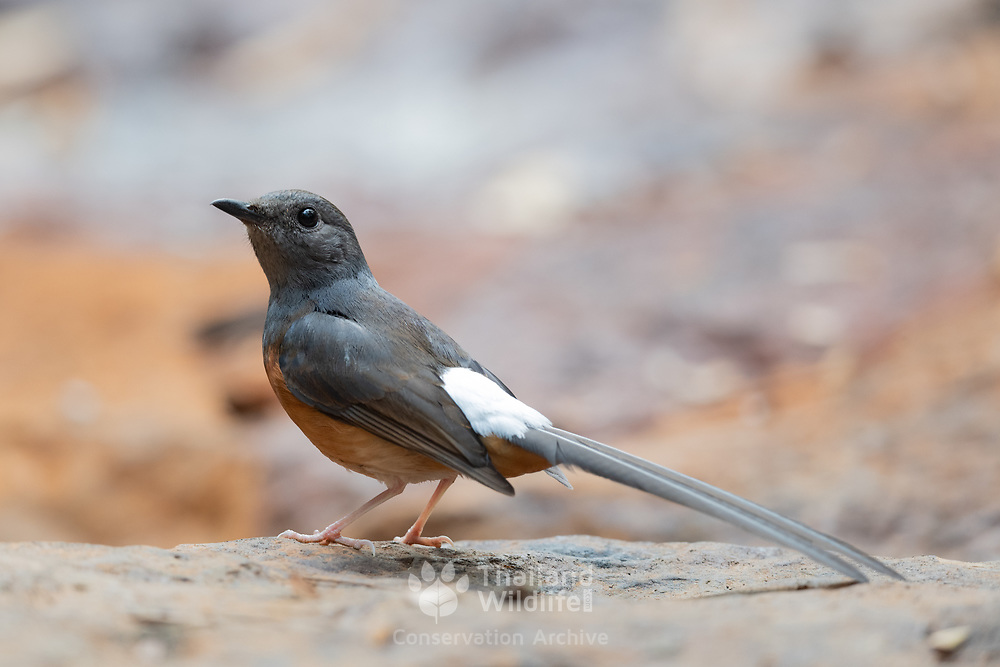 The white-rumped shama (Copsychus malabaricus) is a small passerine bird of the family Muscicapidae.