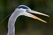Great Blue Heron, Ardea herodias, in the Everglades, Florida, USA