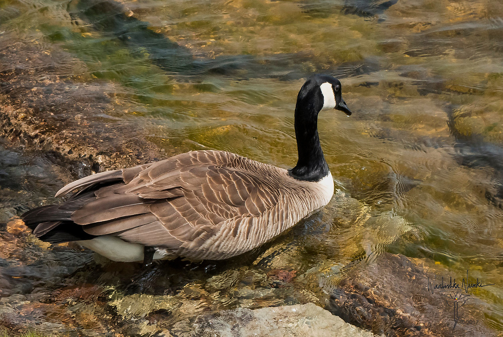 Canadian Goose going for a swim in the St. Mary's river.