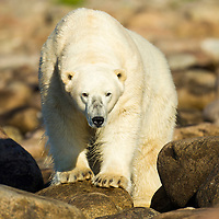 Canada, Manitoba, Adult male Polar Bear (Ursus maritimus) standing along rocky shoreline of Hubbart Point along Hudson Bay