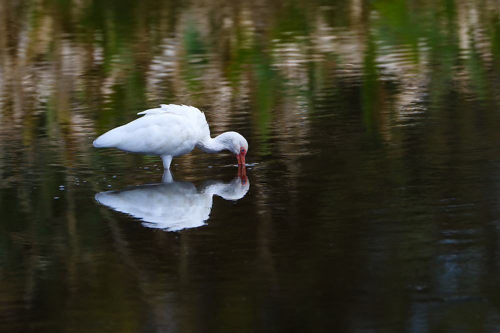 South Florida bird photography from New England based outdoor photographer Juergen Roth showing a white Ibis at Green Cay Wetlands in Boynton Beach, Florida. Green Cay and Wakodahatchee Wetlands are amazing nature area for viewing and photographing wildlife in Florida. <br />