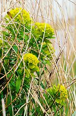 Moeraswolfsmelk, Euphorbia palustris