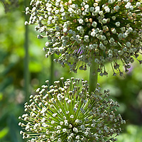 Large white seed pods of Ambassador giant ornamental onion (Allium 'Ambassador').