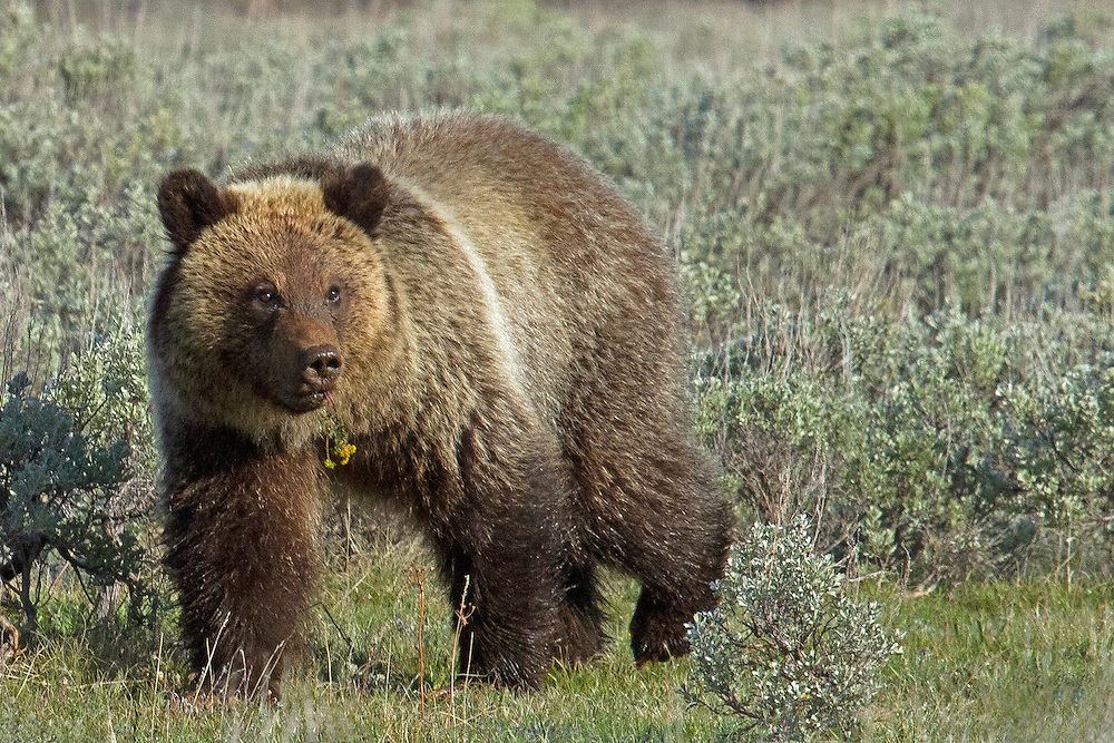 A two-year-old grizzly cub forages for plants in the Swan Flats area of Yellowstone National Park. Grizzlies emerge from their den from late March through May, whenever young vegetation begins to grow. Common spring food sources include grasses, sedges, clover, dandelion and cow parsnip.