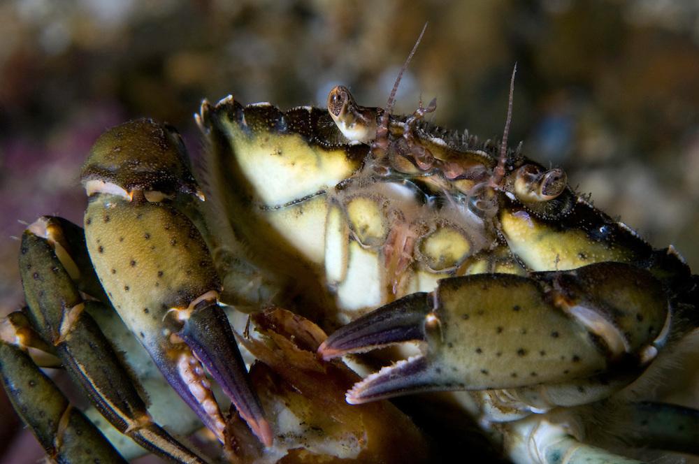 Common shore crab, Carcinus maenas, Lofoten, Norway,