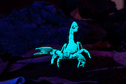 The emperor scorpion (Pandinus imperator) is one of the largest species of scorpion in the world, with adults averaging about 20 centimetres. Under ultraviolet light, scorpions will glow which makes them easy to spot at night. Range: througout Africa in rainforest and open savannas. © Michael Durham / www.DurmPhoto.com