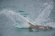 A Black tip Shark, Carcharhinus limbatus, leaps, spins and hunts in the shallows offshore Palm Beach County, Florida, United States, during the species' migration in late winter / early spring.