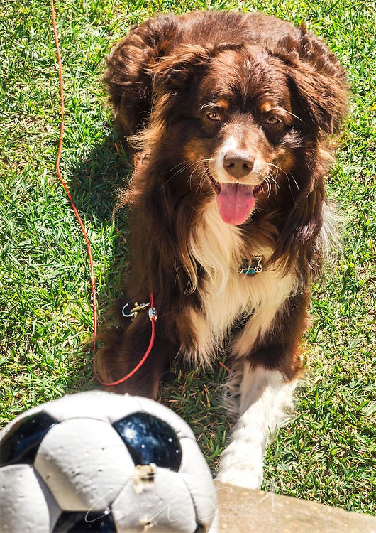 Cowboy, a six-year-old, red tri Australian Shepherd, waits for a soccer ball to be thrown, Oct. 4, 2014, in Coden, Alabama. (Photo by Carmen K. Sisson/Cloudybright)