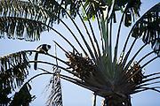 Black and White Ruffed Lemur on a Ravenala Palm.
