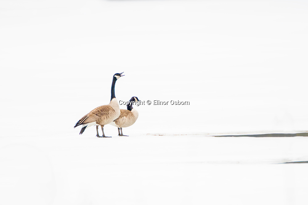 Canada Geese on ice. Late winter