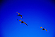 Three Brown Pelican birds  in flight in deep blue sky, Galapagos Islands, Ecuador