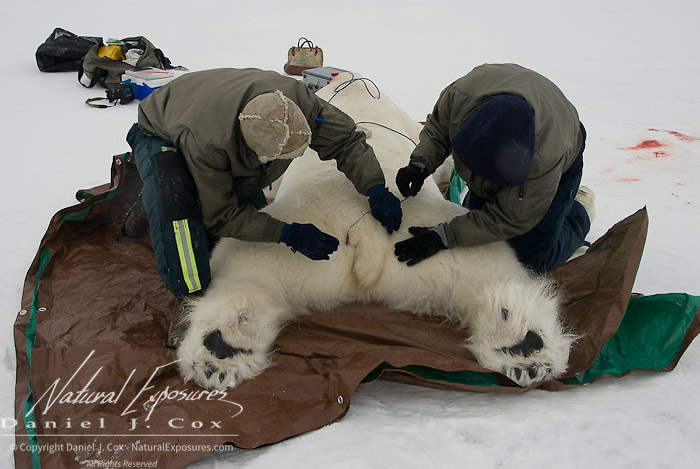 Dr. Steve Amstrup, USGS biologist and assistant Kristin Simac, prepare a large male, polar bear for a test called Body Mass Index (BMI) which measures the fat mass of individual bears.