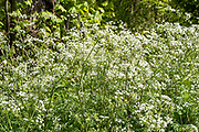 Cow Parsley - Anthriscus sylvestris, wildflowers blooming in Springtime, UK