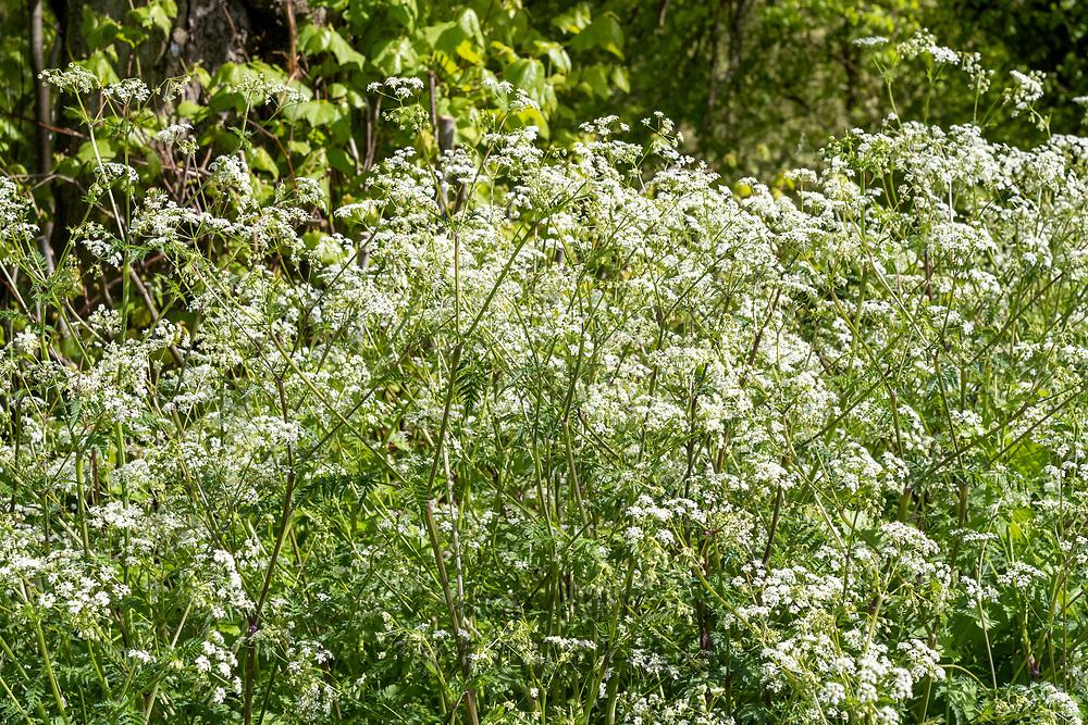 Cow Parsley - Anthriscus sylvestris, wildflowers blooming in Springtime, UK
