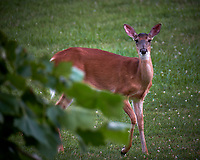 Wary Doe. Image taken with a Fuji X-T2 camera and 100-400 mm OIS telephoto zoom lens
