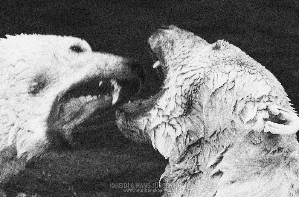 Schweden, SWE, Kolmarden, 2000: Zwei bruellende Eisbaeren (Ursus maritimus) im Kampf, Kolmardens Djurpark. | Sweden, SWE, Kolmarden, 2000: Polar bear, Ursus maritimus, two roaring polar bears in fight, Kolmardens Djurpark. |