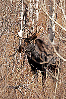 A Bull Moose moves through the Aspen trees in the middle of the day at the end of October.