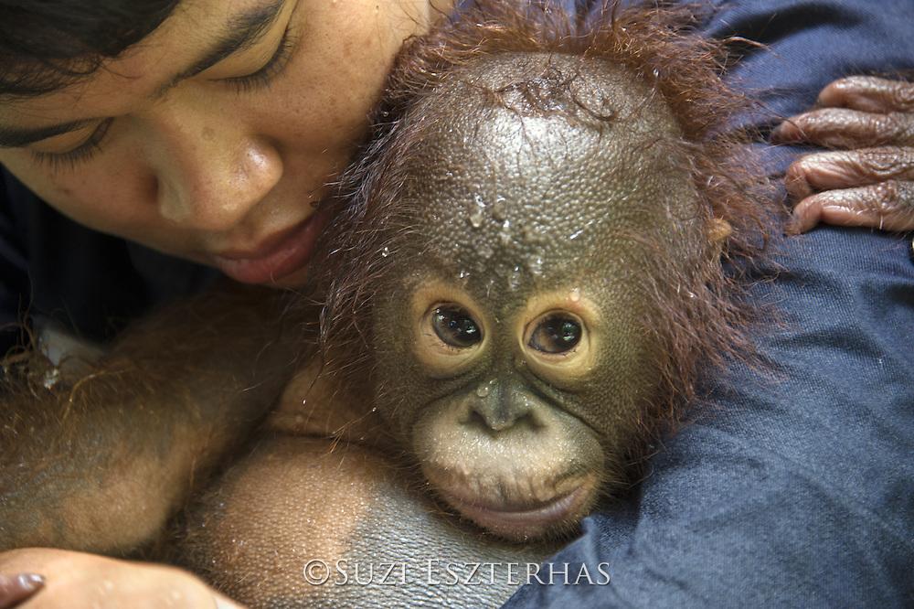 Bornean Orangutan<br /> Pongo pygmaeus<br /> Caretaker with infant at bath time<br /> Orangutan Foundation International's Orangutan Care Center, Borneo, Indonesia<br /> *No model release available - for editorial use only