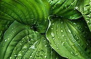 Close-up of Hosta leaves in spring.