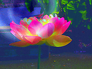 Wild Lotus ~<br />