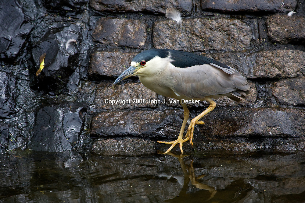 Black-crowned Night-heron, Nycticorax nycticorax, near wall of pond