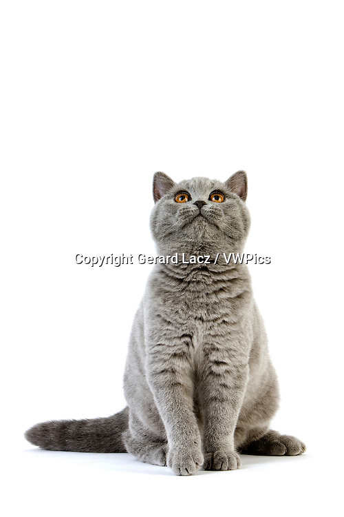 Blue British Shorthair Domestic Cat, Female sitting against White Background