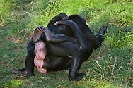 Female bonobos rubbing genitals, native to Congo (DRC)