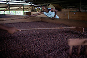 Workers are turning cocoa that is drying on a wood desiccator in the technical area of Claudio Corallo's plantation on the island of Principe, Sao Tome and Principe, (STP) a former Portuguese colony in the Gulf of Guinea, West Africa.