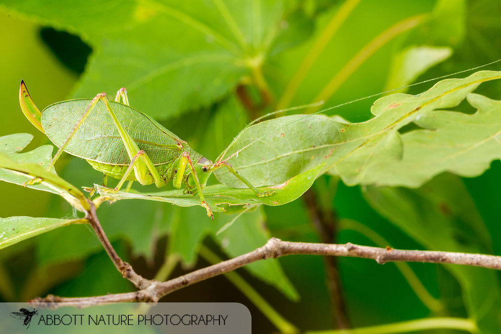 Common True Katydid (Pterophylla camellifolia)<br /> United States: Alabama: Tuscaloosa Co.<br /> Tulip Tree Springs off Echola Rd.; Elrod<br /> 3-Sep-2016<br /> J.C. Abbott #2863