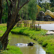 A water buffalo escaping the heat of the day by bathing in a stream with a reclining buddha statue in the background