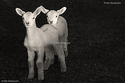 Two lambs came running up to us at high speed as we were carrying a drinks bottle. They thought it was THEIR drinks bottle, and were quite put out when we didn't feed them :-)..Available in four sizes from 3 x A1 Editions, 5 x A2 Editions and unlimted A3 and A4 prints.