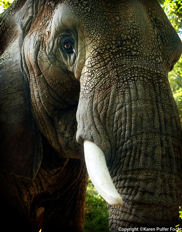 """The Memphis Zoo's elephant matriarch """"Tyranza,"""" or """"Ty"""" for short, is turning 52 in 2016. She lives at The Memphis Zoo, in Memphis, Tennessee. She is the oldest African Elephant in North America. She was with Ringling Brother Circus before coming to the Memphis Zoo."""