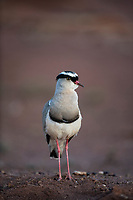 Crowned Lapwing, Madikwe Game Reserve, North West Provonce, South Africa