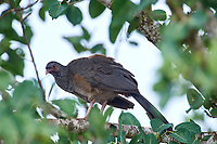 Chaco Chachalaca (Ortalis canicollis), Araras Ecolodge,  Mato Grosso, Brazil (Photo: Peter Llewellyn)