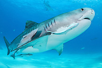 Tiger Shark, with several Remoras attached, swimming just above the seafloor<br /> <br /> Shot in Bahamas