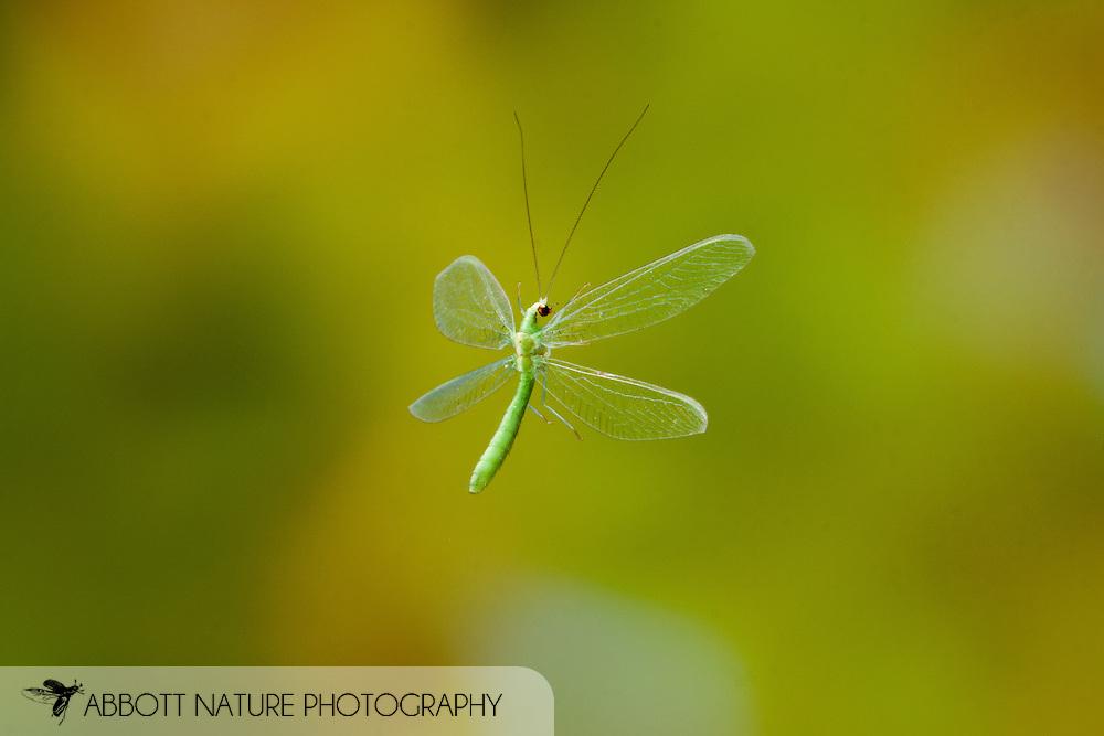 Green Lacewing (Chrysoperla sp.)<br /> TEXAS: Hidalgo Co.<br /> Front pond of Santa Ana Nat. Wildlife Refuge<br /> 14-Nov-2010<br /> J.C. Abbott #2471