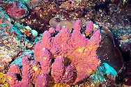 Branching Tube Sponge, Aiolochroia crassa, Penny's Arch, Grand Cayman