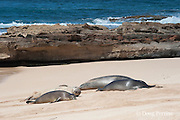 group of Hawaiian monk seals, Monachus schauinslandi, Critically Endangered endemic species, resting on beach at west end of Molokai, Hawaii ( Central Pacific Ocean ); dry seal covered with sand is a 3-year-old male; the seal in front is a younger juvenile