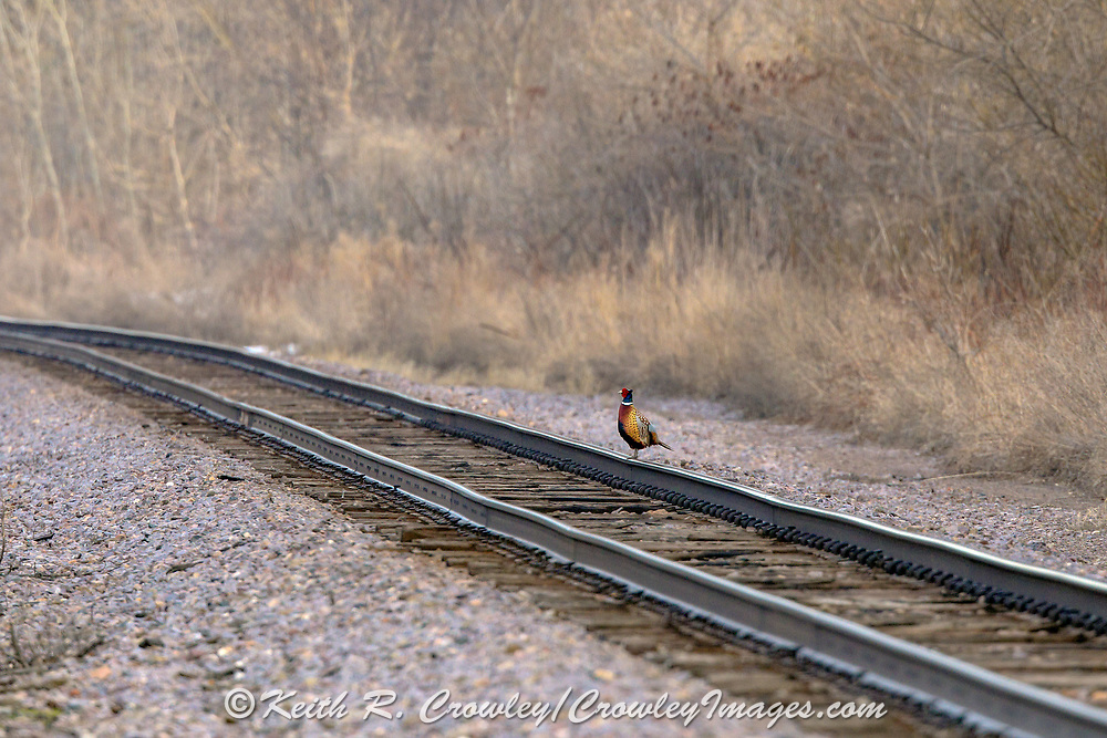 Rooster pheasant standing on railroad tracks.