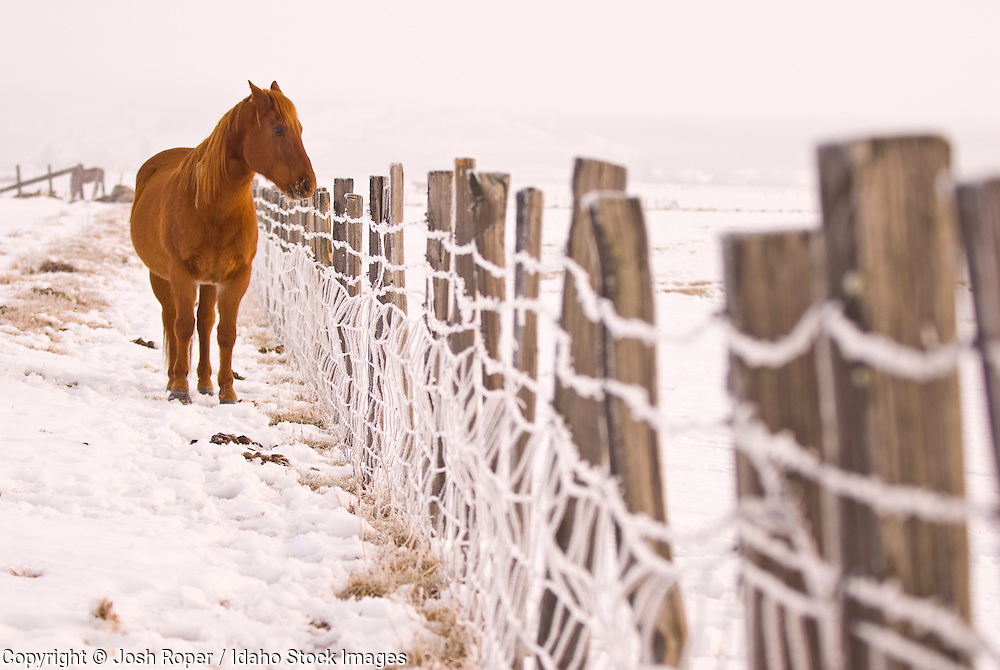 Idaho, McCall. A horse stands in a snowy field in winter.