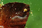 Ein im Wasser treibendes Buchenblatt wird von Wasserorganismen besiedelt.  - Stechlinsee