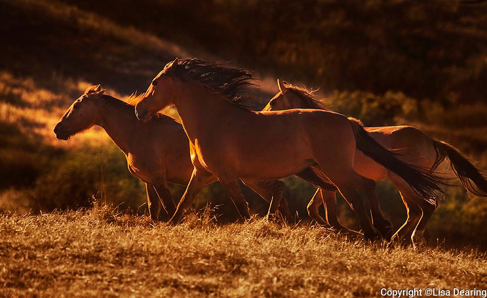 Wild Mustangs from the Sulphur Herd