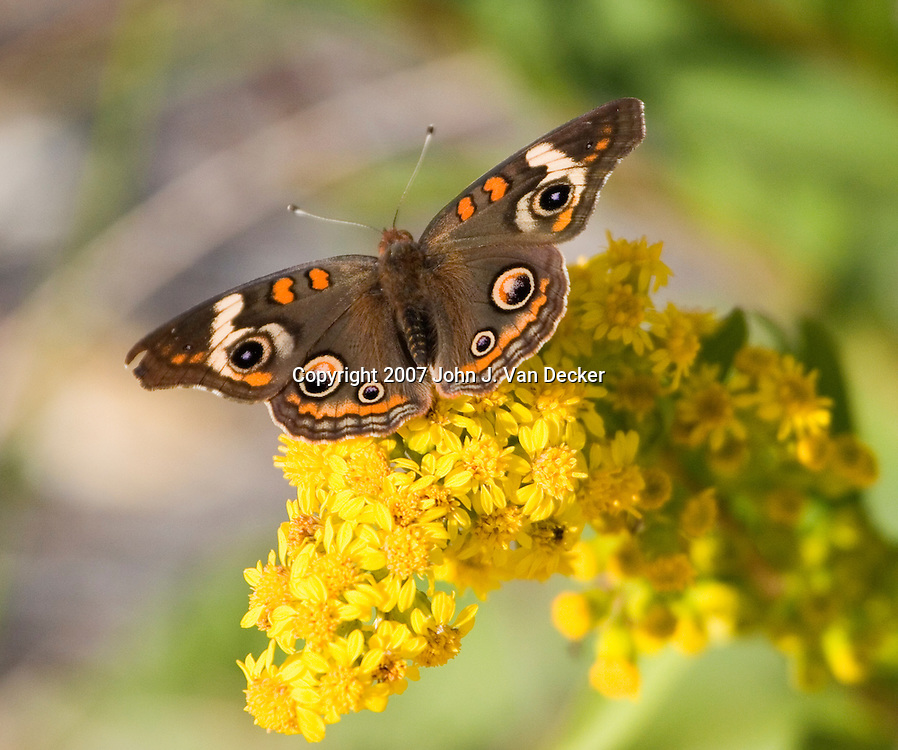 Buckeye Butterfly, on Seaside Goldenrod. Cape May, NJ, USA